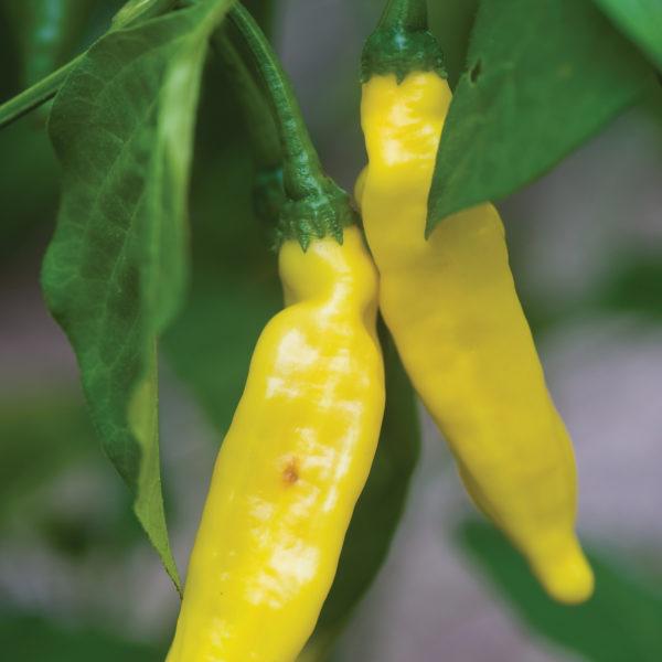 Pepper Hot Lemon Pepper
