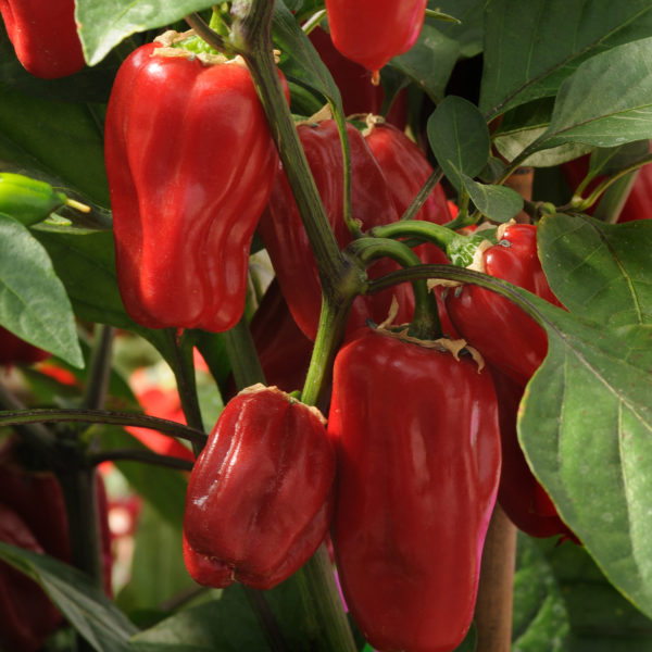 Pepper Sweet Heat Pepper