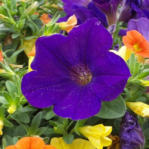 Petunia Supertunia Royal Velvet Petunia