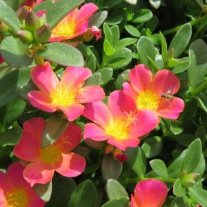 Portulaca Mojave Pink Purslane