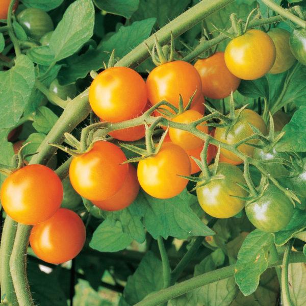 Tomato Sungold Tomato
