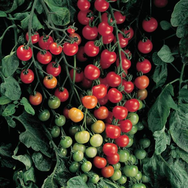 Tomato Sweet 100 Cherry Tomato