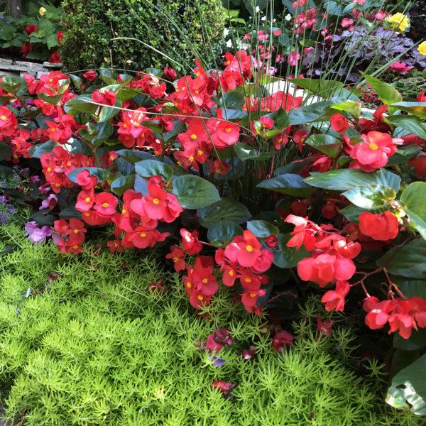 Begonia Surefire red