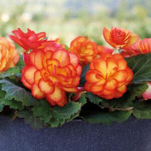 Begonia Non Stop Fire tiberous begonia