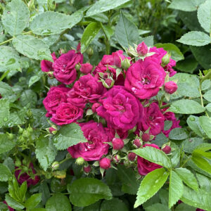 Easy Peasy Rose
