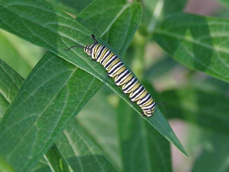 3 monarch caterpillar on milkweed_stock photo
