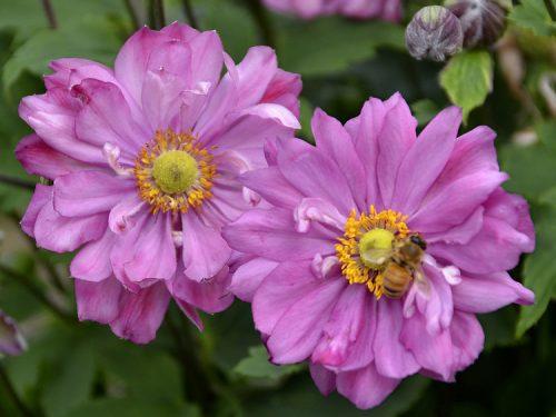 Anemone Fall in Love Sweetly w bee_Walters Gardens