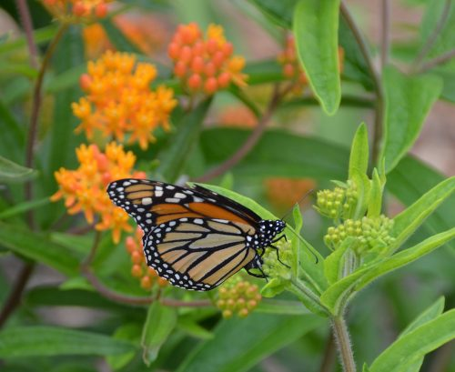 Asclepias tuberosa with monarch_Susan Martin