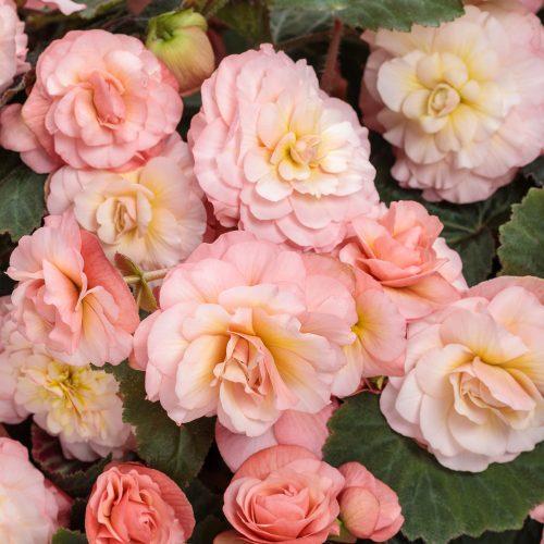 Begonia_Double_Delight_Blush_ Rose_begonia_pw_BEGDB_01
