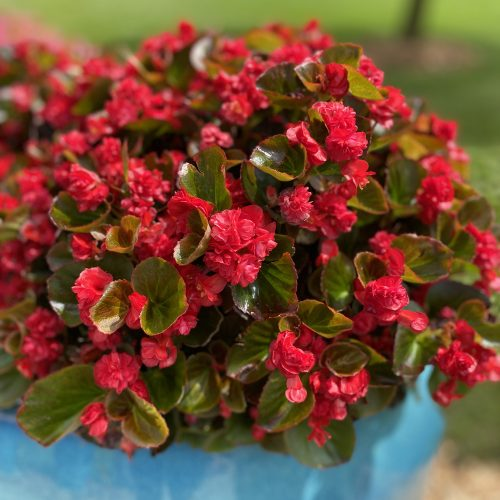 Begonia_Double_Up_Red_begonia_gc_BEGUR_01
