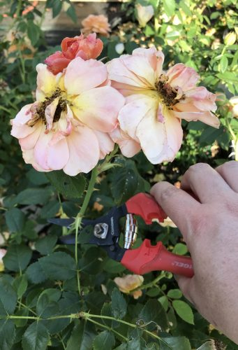 Deadheading At Last roses_Susan Martin