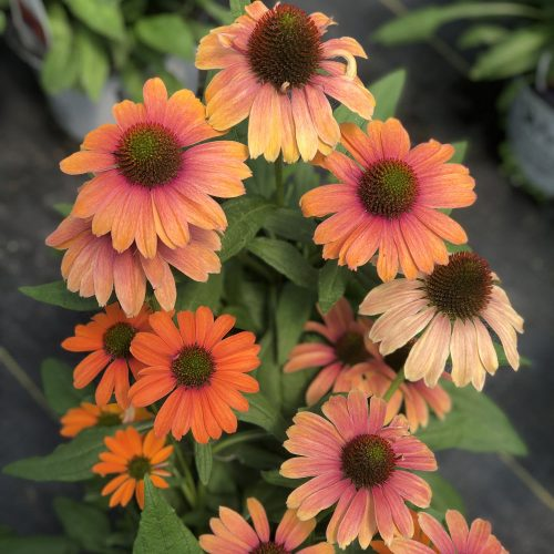 ECHINACEA COLOR CODED ORANGE YOU AWESOME CONEFLOWER