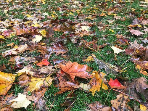 Fall leaves on turf_Susan Martin