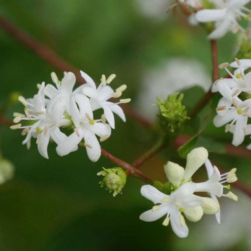 Heptacodium Temple of Bloom white flower_Spring Meadow Nursery