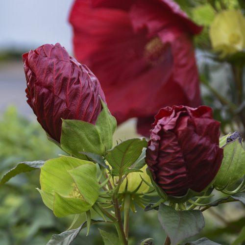 Hibiscus Cranberry Crush buds_Walters Gardens