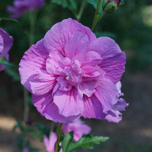 Hibiscus_dark_lavender_chiffon_Rose_of_Sharon_PW_HIBLD_01