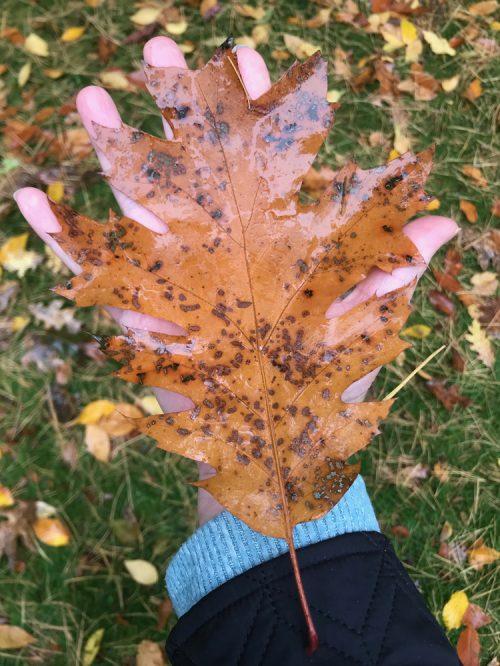 Large red oak leaf_Susan Martin