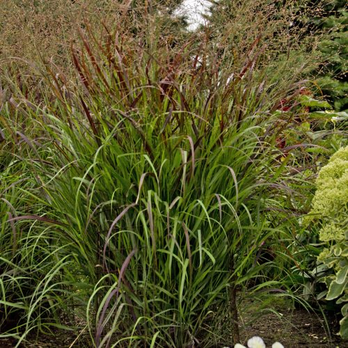 PANICUM PRAIRIE WINDS CHEYENNE SKY RED SWITCH GRASS