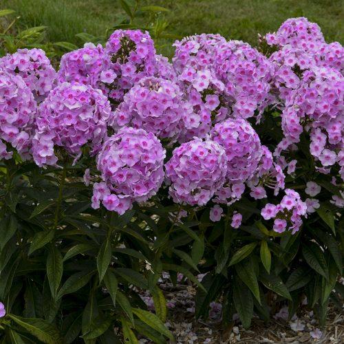 Phlox_Luminary_Opalescence_Tall_garden_phlox_wg_phlol_02