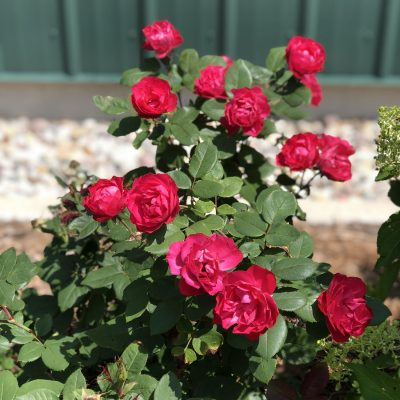 ROSA OSO EASY DOUBLE RED ROSE LANDSCAPE
