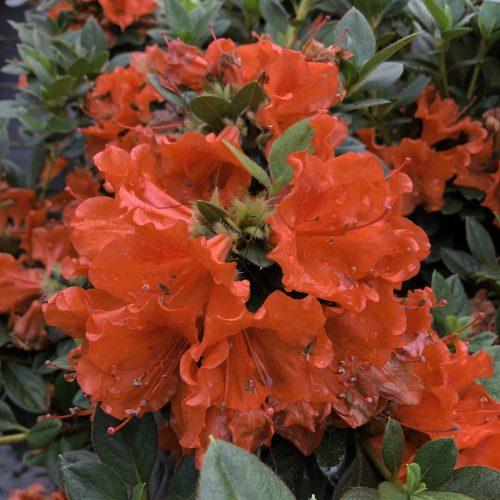 Rhododendron_perfecto_mundo_orange_reblooming_azalea_pw_AZAOR_02
