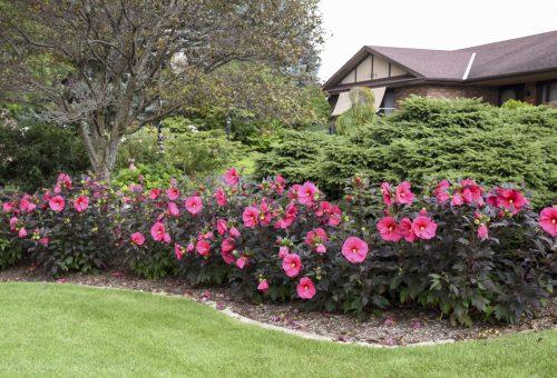 Summerific hibiscus_evening_rose_Walters Gardens