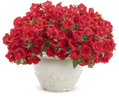 Supertunia Really Red_PW
