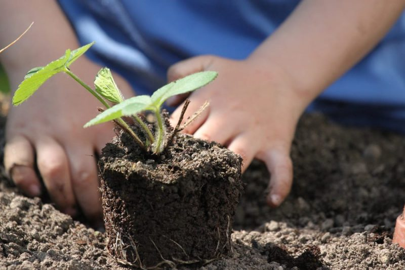 child planting seedling_stock photo